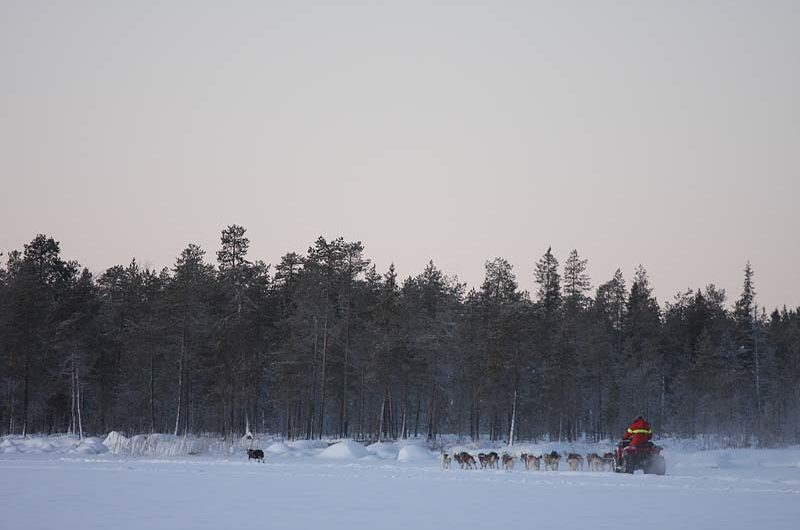 Stina on her way with 15 siberians.