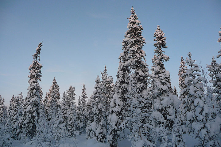 Snow covered spruce trees.