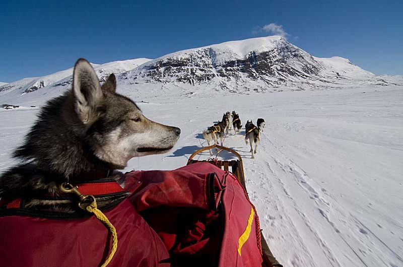 Working Husky Masi had some problem with kennel cough so he ordered a mountain-taxi from Alesjaure.