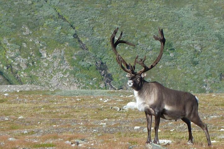 Reindeer (Latin: rangifer tarandus). This is a big male. His antlets are still covered with skinn.