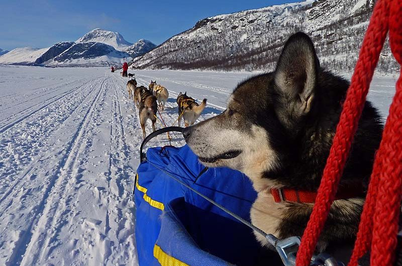 Fenris with a strained back leg hiking in Stinas sled.
