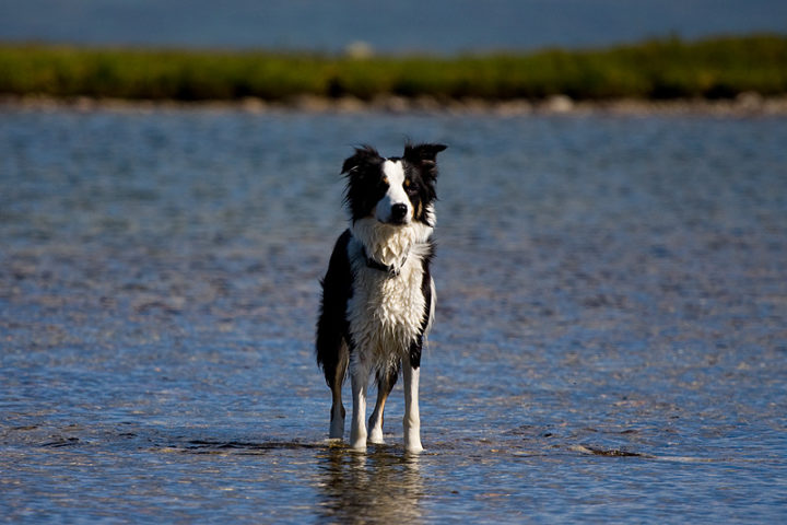 Issa one of our two Border Collies.