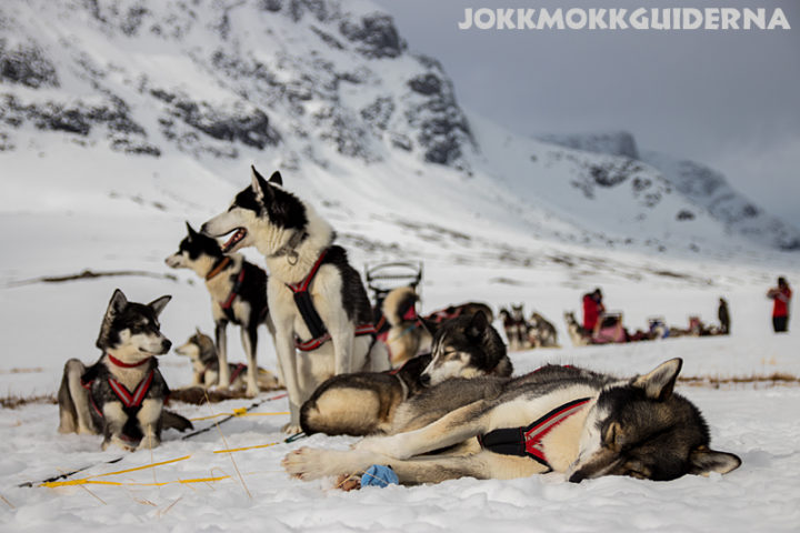 Sled dogs resting on a dogsledding adventure