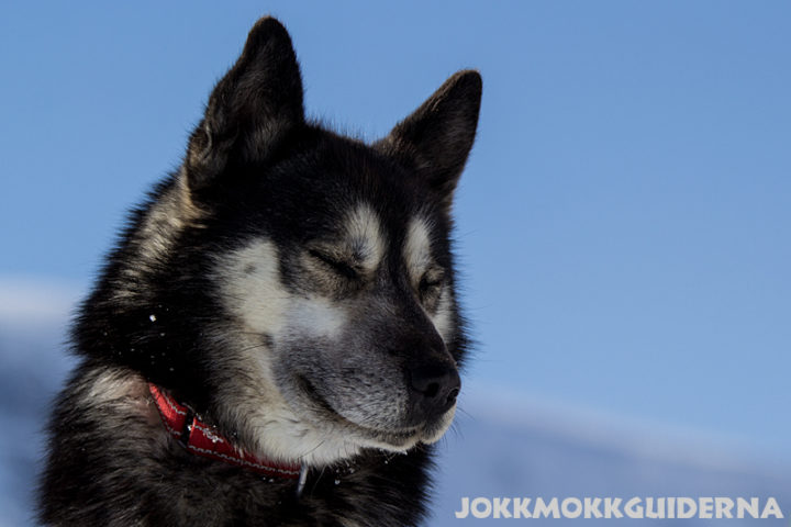 Siberian Husky a working sleddog in the Swedish mountians