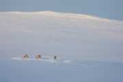 Grazing reindeers in the Swedish mountains on the tour: Sled dog adventure through Sjaunja and Kebnekaise