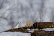 Ptarmigan in mountain birch forest on the tour: Sled dog adventure through Sjaunja and Kebnekaise