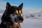 Umiak one of our huskies on the tour: Sled dog adventure through Sjaunja and Kebnekaise