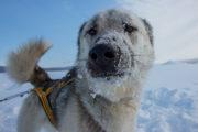 Siberian Husky, slädhund på fjällturen som heter Med hundspann till porten av Sarek Nationalpark.