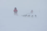 Sled dog teams in snowstorm, picture from the dog sled trip: With dog sled to the Gate of Sarek National Park