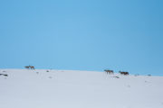 Reindeers on the bare mountain, picture from the dog sled trip :With dog sled to the Gate of Sarek National Park.