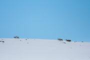 Renar på kalfjället, foto taget på turen Med hundspann till porten av Sarek Nationalpark.