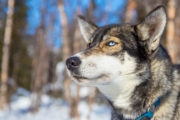 Siberian husky with blue eyes. Image taken on the tour Explore Sarek National Park.