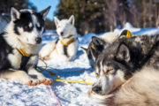 Resting sled dogs in the sun on the tour Explore Sarek National Park.