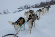 Huskies in uphill. picture from the expedition Explore Sarek National Park.