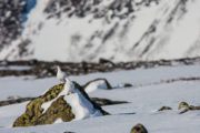 two Ptarmigans in winter. Picture from tour Explore Sarek National Park.