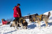 Slädhundar blir selade framför hundsläden. På turen Med huskies längs norra Kungsleden.