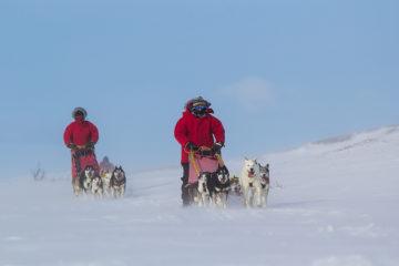 Glada slädhundar, Siberian huskies på hundspannstur längs norra Kungsleden.