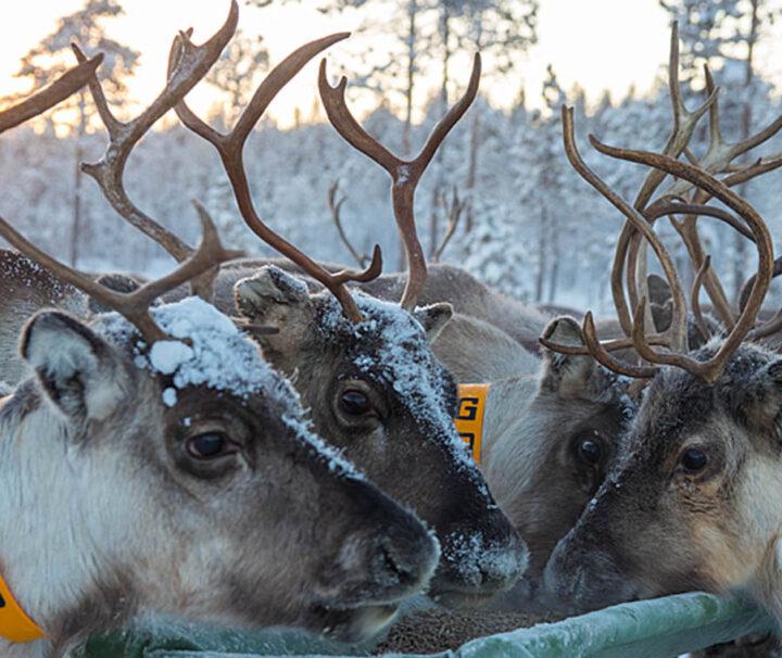 Renhonan kallas för Vaja på samiska och en rentjur för Sarv. Bild från turen: Följ med samiska renskötare i deras dagliga arbete