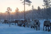 Renhjord i Jokkmokk Lappland. Bild från turen: Följ med samiska renskötare i deras dagliga arbete