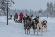 Dog teams in the woodland on their way to the mountains. Dog sledding tour across Lapland.