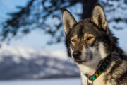 Wolf like Siberian husky on a dog sledding tour in Lapland.