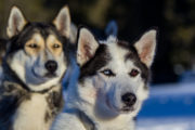 Siberian huskies with brown and blue eyes. Dog sled tours in Lapland.
