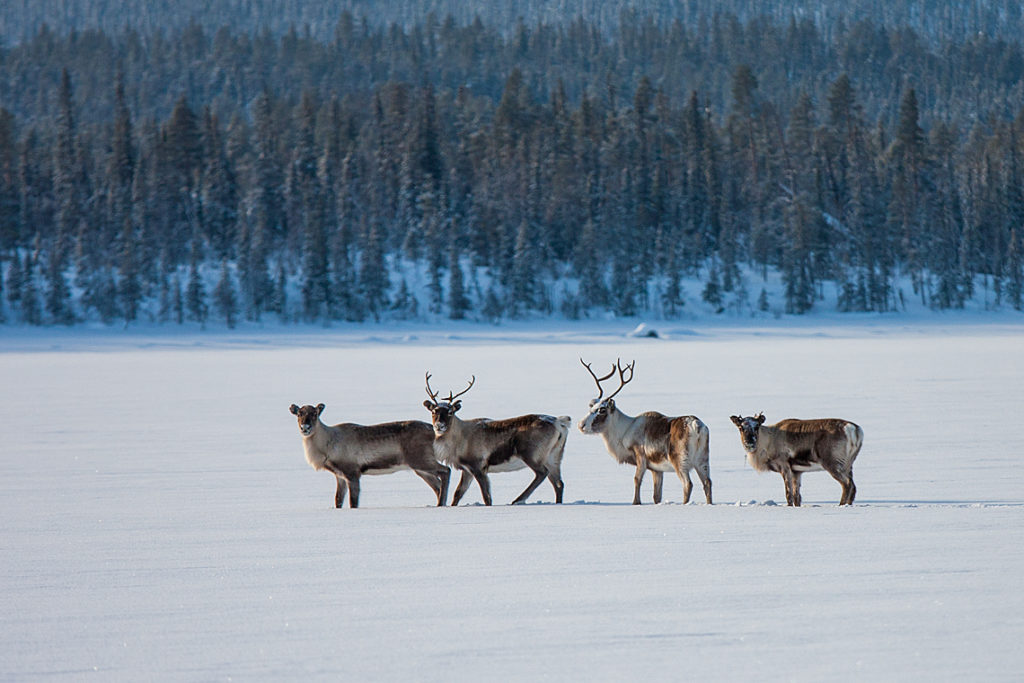 Four reindeers on a snow-covered lake in Lapland. Image from a dog sledding tour.
