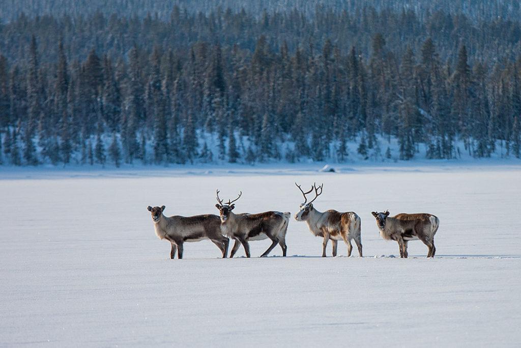 Fyra renar på snötäckt is i Lappland. Foto taget på ett äventyr med hundspann.