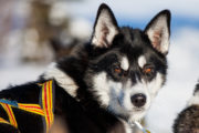 Siberian husky with beautiful brown eyes on a dog sledding tour in Lapland.