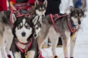 Slädhundar, Siberian huskies på hundspannstur. Med hundspann i skogslandet.
