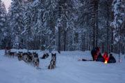 Lägereld och hundspann i snötäckt skog. Med hundspann i skogslandet. Jokkmokk.