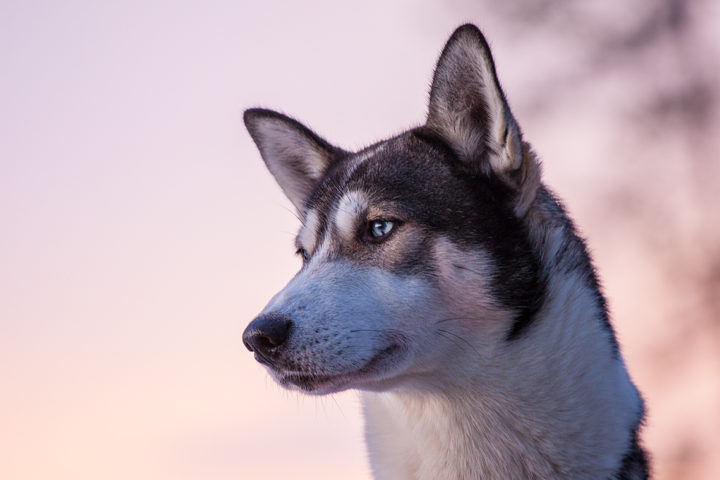 Siberian husky with pink sky. Photo from the dog sled tour With dog sled in the woodlands.