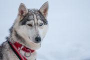 Husky med ett blått och ett brunt öga. Draghunds slädhund. Med hundspann i skogslandet.