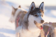 Siberian husky breathing cold air. On one of our dog sled tours called Dog sledding adventure and northern lights.