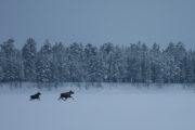"""Älg """"Alces alces"""". Älgko och kalv i vinterlandskap. Fotograferat på turen Hundspannsäventyr och norrskensnätter i Jokkmokk"""