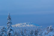 Snow covered tree tops in Jokkmokk Lapland on the dog sled tour Dog sledding Adventure and Northern lights.