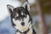 Sleddog siberian husky blue eyes. Picture from The Final Spring Adventure.