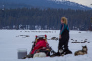 Reindeer herd and sled dogs in Swedish Lapland on the husky adventure The Final Spring Adventure.