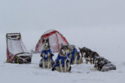 Snowfall on a dog team in Sweden Lapland on the tour The Final Spring Adventure.