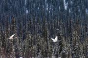 Whooper swans (Cygnus cygnus) in Lapland.