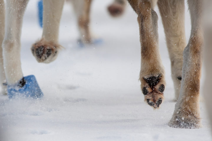 Dog paws sled dogs huskies. The Final Spring Adventure.