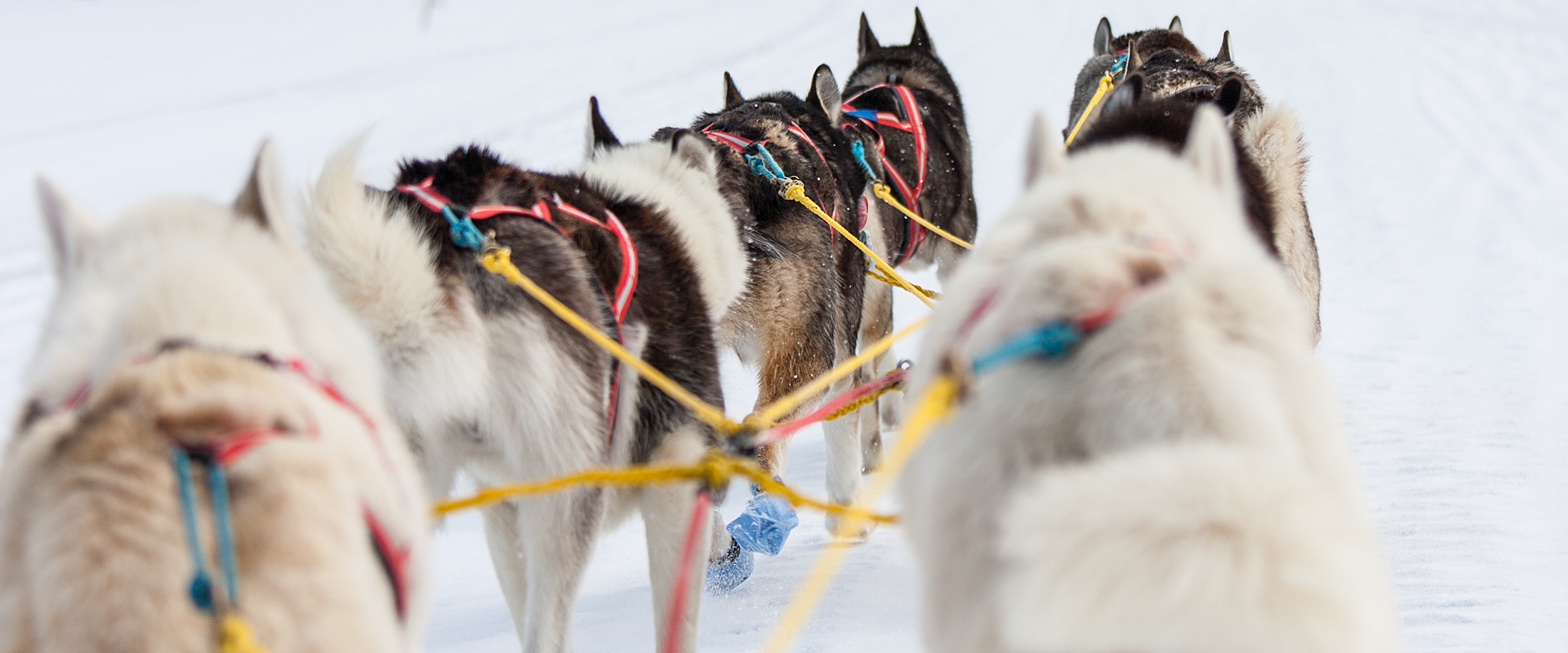Sleddogs on the move.