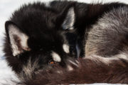 Black Siberian husky curled up on the mountain tour A Taste of Sarek National Park.