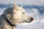 White sled dog a Siberian Husky on the adventure A Taste of Sarek National Park.