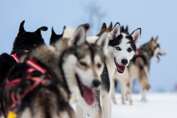 Sled dogs, siberian huskies looking back waiting. Photo from the dog sled adventure A Taste of Sarek.