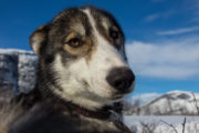 Siberian husky in the Swedish mountains. Photo from the tour A Taste of Sarek National Park