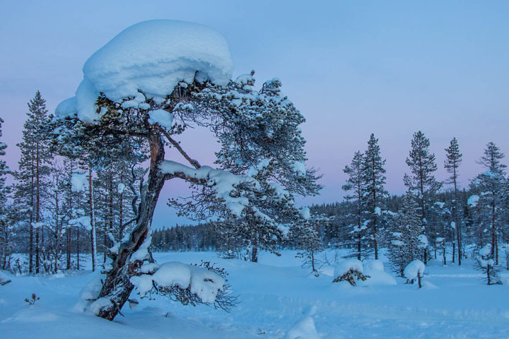 Old snow-covered pine tree on mire. Picture from a sled dog tour with Jokkmokkguiderna