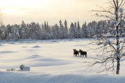 two moose walking in deep snow in Lapland. Wildlife watching at the tour: The Gems of Jokkmokk Winter Market