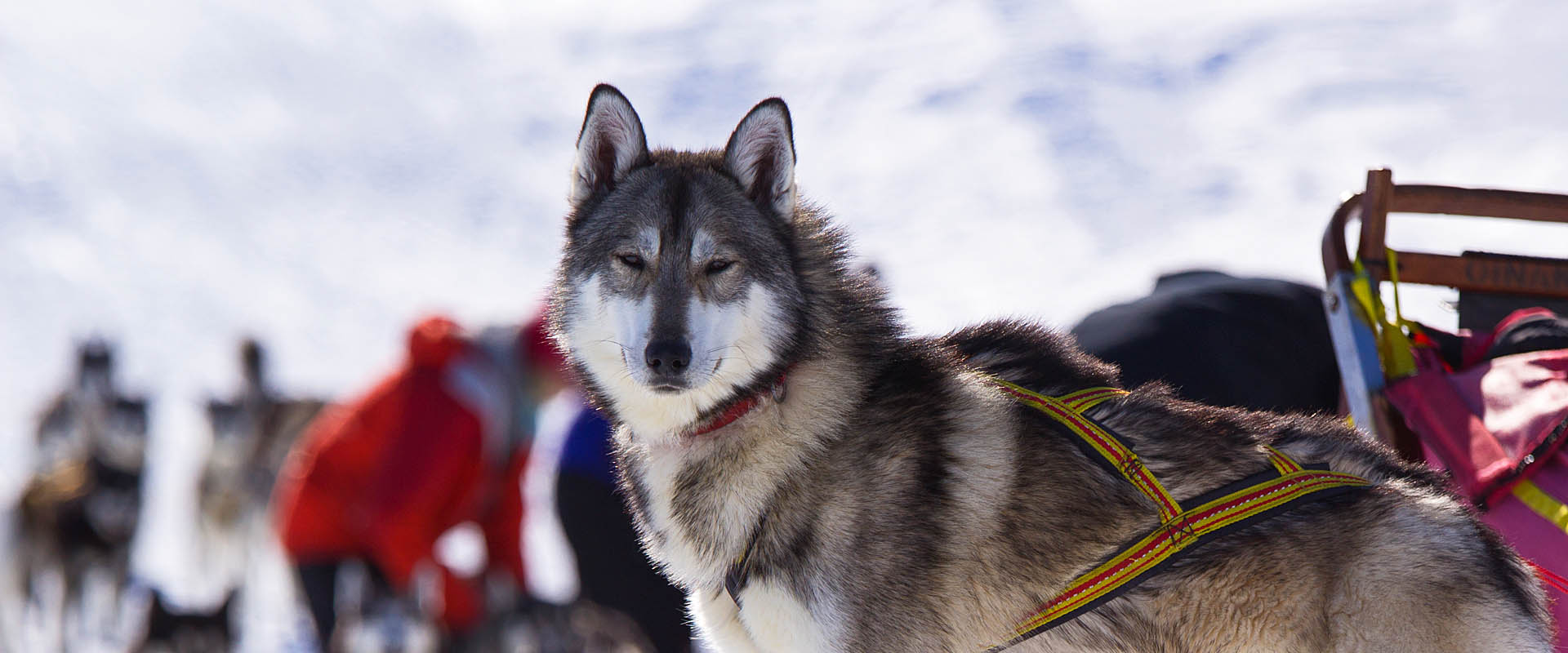 Sled dog. Tour calendar dog sled tours dog sledding.