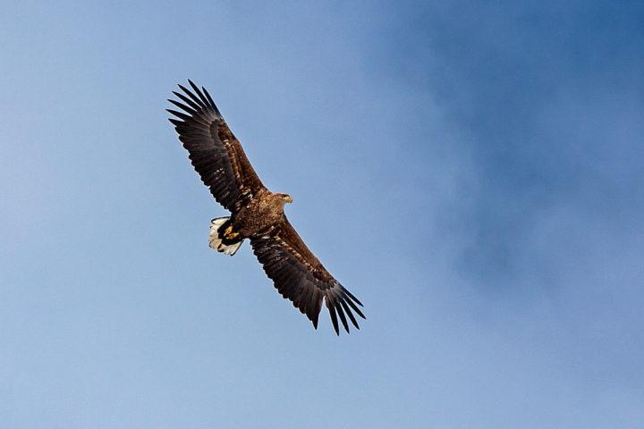 White-tailed eagle Haliaeetus albicilla